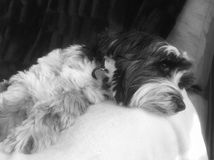 Cute Tibetan terrier resting on a sofa. Tibetan terrier dog in black and white lying on thr arm of a sofa relaxing. Sleepy older pet resting on a blanket Stock Photo