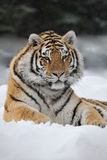 Cute Tiger. In winter day stock photos