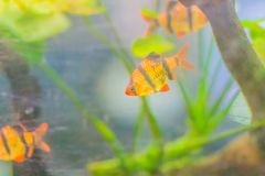 Cute tiger barb or Sumatra barb (Puntigrus tetrazona) fish in aq Royalty Free Stock Photo