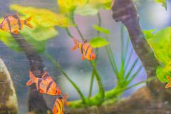 Cute tiger barb or Sumatra barb (Puntigrus tetrazona) fish in aq Stock Photography