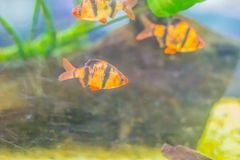 Cute tiger barb or Sumatra barb (Puntigrus tetrazona) fish in aq Royalty Free Stock Image