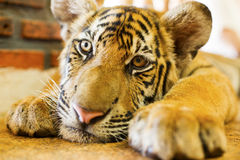 Cute tiger cub. Cute tiger cub laying on the floor with his paw outstretched. (Panther Tigris Stock Image