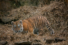 Cute tiger cub resting in the hay Royalty Free Stock Image