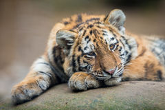 Cute tiger cub Royalty Free Stock Photography