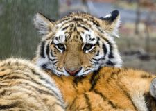 Cute tiger cub resting on mother tiger. Tiger cub looks off into distance royalty free stock photos