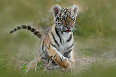 Cute tiger cub. Siberian tiger in grass. Amur tiger running in the meadow. Action wildlife summer scene with danger animal. Nature Royalty Free Stock Images