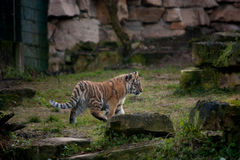 Cute tiger cub walking in the jungles Royalty Free Stock Images