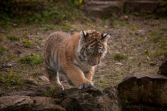Cute tiger cub walking in the jungles Stock Photography