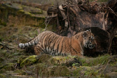 Cute tiger cub walking in the jungles Stock Photo