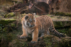 Cute tiger cub walking in the jungles Stock Photos