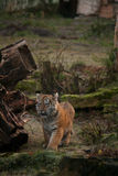 Cute tiger cub walking in the jungles Royalty Free Stock Photo