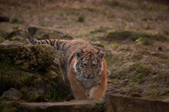 Cute tiger cub walking in the jungles Royalty Free Stock Photography