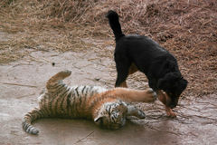 Cute tiger pup playing with dog Stock Photo