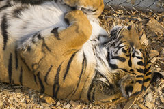 Cute Tiger Taking a Nap Royalty Free Stock Images