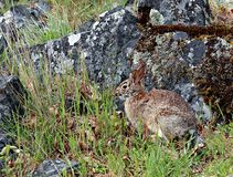Cute timid brown bunny in grass wel camouflaged. Wild brown rabbit sitting in the grass near a moss covered rock royalty free stock photos