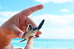 Cute and tiny baby sea turtle. Stock Photo