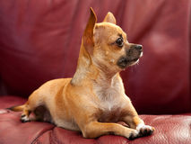 Cute Tiny Chihuahua Dog On A Red Couch Stock Image