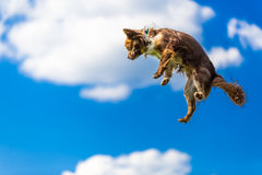Cute tiny chihuahua jumping in the air, funny picture Stock Photography