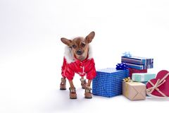 Cute tiny dog with present boxes. stock image
