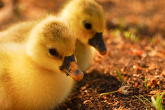 Cute tiny goslings Stock Photos