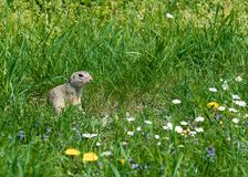 Cute ground squirrel on fresh flower meadow Royalty Free Stock Images