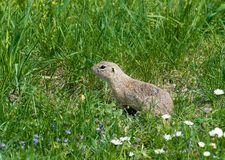 Cute ground squirrel on fresh flower meadow Royalty Free Stock Photography
