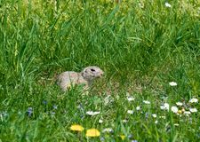 Cute ground squirrel on fresh flower meadow Stock Photography