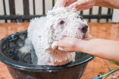 Cute tiny poodle puppy dog taking shower on bath basin. Royalty Free Stock Images