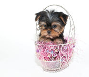 Easter Yorkie Puppy Royalty Free Stock Images