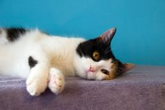 Cute tired cat is resting on the purple blanket. royalty free stock photo