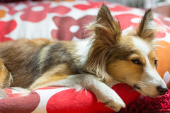 Cute Tired Dog tries to Sleep. This cute tired dog (sheltie, shetland sheepdog) tries to sleep in her bed Stock Image