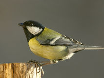 Cute tit Royalty Free Stock Photography