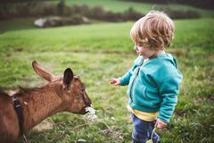 A toddler boy feeding a goat outside in spring nature. Stock Photography