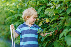 Cute toddler boy having fun with picking berries on raspberry fa Stock Images