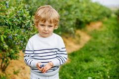 Cute toddler boy helping to pick blueberries. On organic berry farm, outdoors Royalty Free Stock Photo