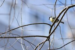 Cute tomtit sitting on a tree branch against a blue sky. Cute tomtit sitting on a tree branch against a blue spring sky stock photography