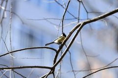 Cute tomtit sitting on a tree branch against a blue sky. Cute tomtit sitting on a tree branch against a blue spring sky stock photos