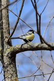 Cute tomtit sitting on a tree branch against a blue sky. Cute tomtit sitting on a tree branch against a blue spring sky royalty free stock photo