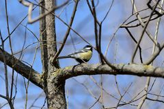 Cute tomtit sitting on a tree branch against a blue sky. Cute tomtit sitting on a tree branch against a blue spring sky royalty free stock photos