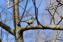 Cute tomtit sitting on a tree branch against a blue sky. Cute tomtit sitting on a tree branch against a blue spring sky stock photo