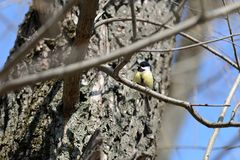 Cute tomtit sitting on a tree branch against a blue sky. Cute tomtit sitting on a tree branch against a blue spring sky royalty free stock image