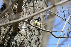 Cute tomtit sitting on a tree branch against a blue sky. Cute tomtit sitting on a tree branch against a blue spring sky royalty free stock images