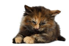 Cute Tortie Kitten Lies with Closed eyes on White background Stock Photo