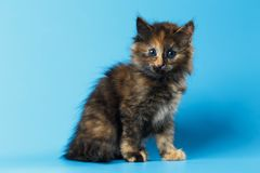 Cute Tortie Kitten Sits on Blue background Royalty Free Stock Images