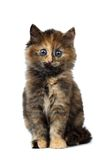 Cute Tortie Kitten sitting on White background Royalty Free Stock Photography