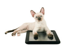 Cute tortie point Siamese kitten lying down with her paws on a tablet Royalty Free Stock Images