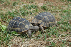 Cute tortoises couple Stock Photography