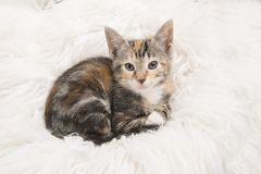 Cute tortoiseshell baby cat lying down and looking up on a white royalty free stock photography