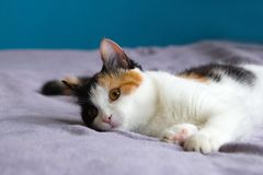 Cute tortoiseshell cat is resting on the purple blanket. stock image