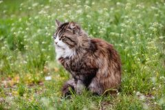 Cute tortoiseshell cat with white breast on a green grass with white flowers royalty free stock image
